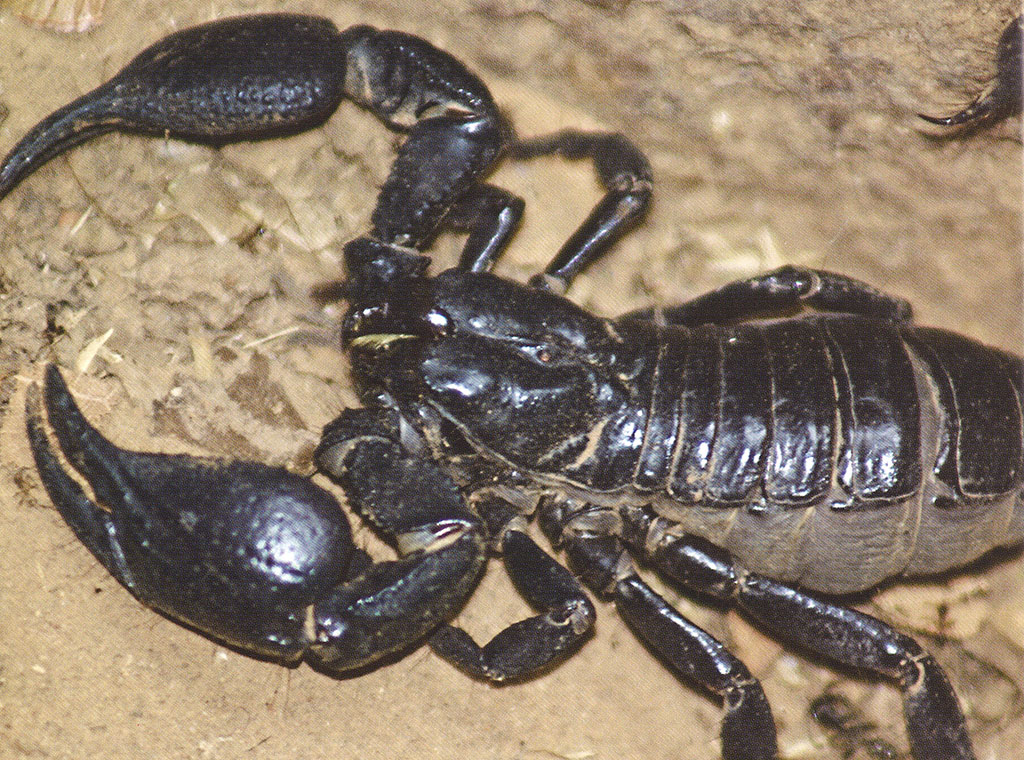 žena, škorpija